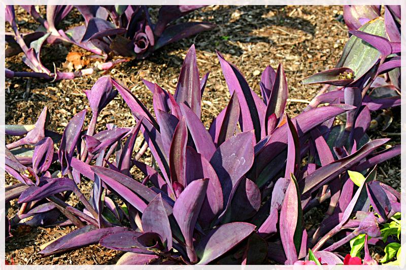 Purple Wandering Jew
