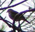 w, Ovenbird Mio Mi.jpg