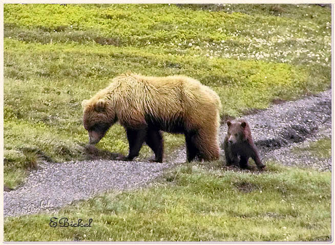Mama Grizzly with her spring Cub