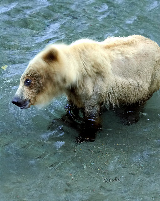 The Grizzly Bear Shake