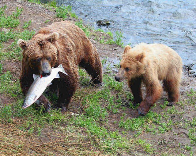 Fish for Mama & Baby Grizzly