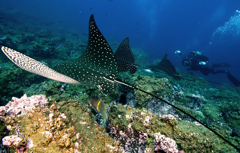 Derek Tracking Spotted Eagle Rays