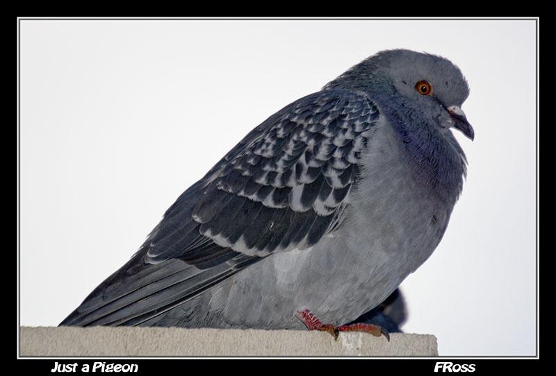Just a Pigeon.jpg