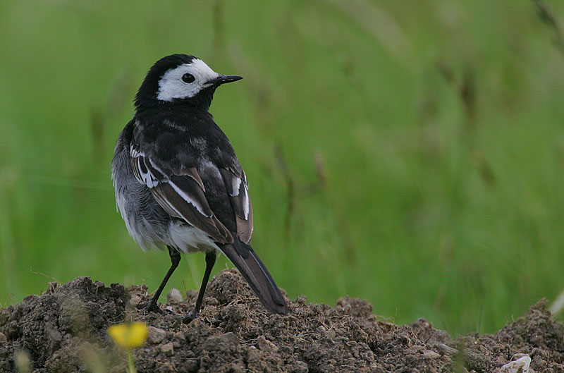 Pied Wagtail male