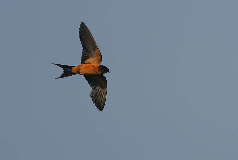 Sri Lanka Swallow (Hirundo hyperythra)