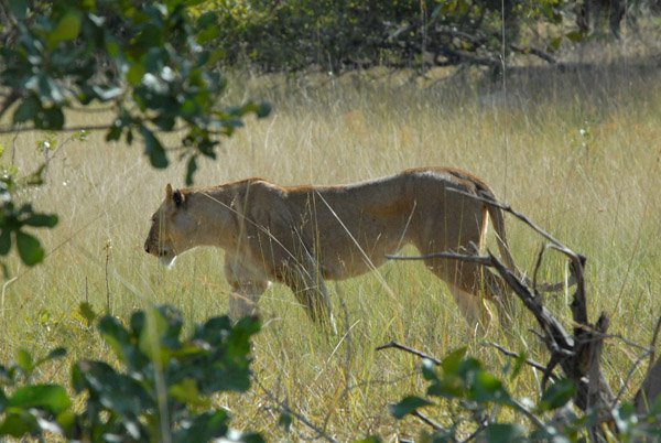 Lioness near McBrides Camp, Kafue National Park