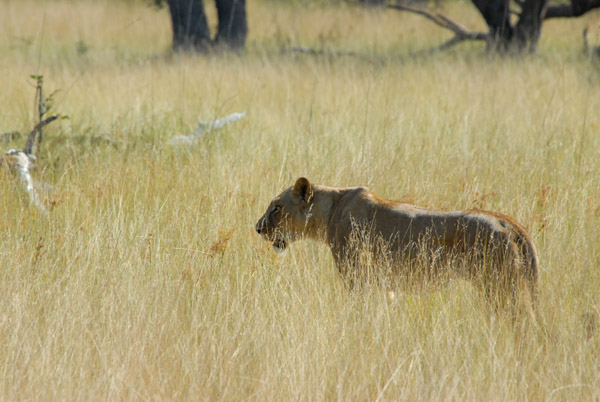 Lioness in the tall grass, Kafue National Park
