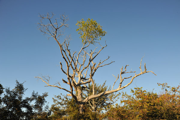 Vine climbing a dead tree, Kafue National Park