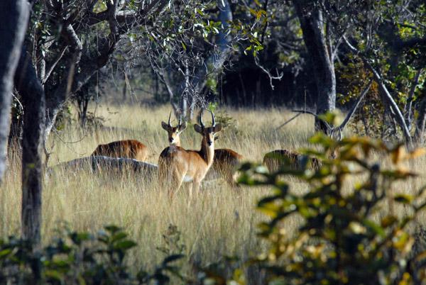 Bachelor herd of Puku, Kafue National Park
