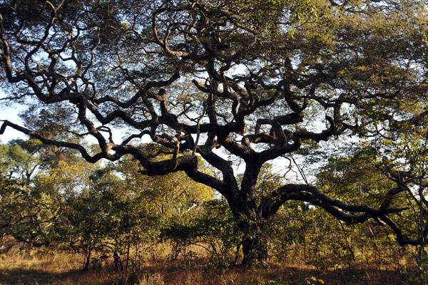 Impressive tree, Kafue National Park