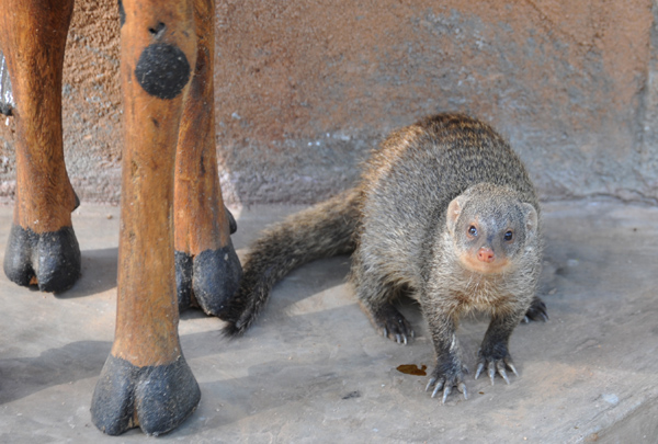 Young banded mongoose orphan hand-raised by Patsy, Wildlife Camp