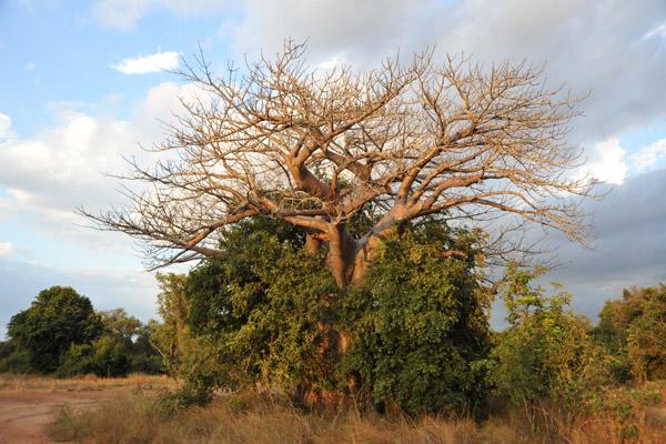 Baobab engulfed by a bush, South Luangwa National Park