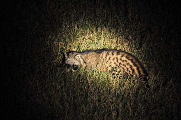 The nocturnal omnivorous African Civet in the spotlight