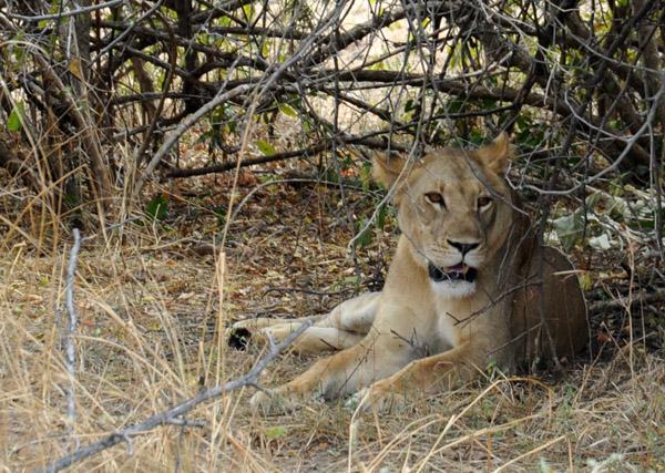 Lion resting under a bush, South Luangwa National Park