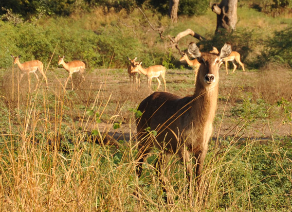 Waterbuck, South Luangwa National Park