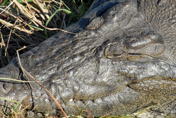 Crocodylus niloticus, Chobe River