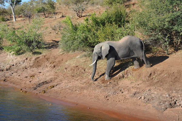 Elephant coming down to the Chobe River