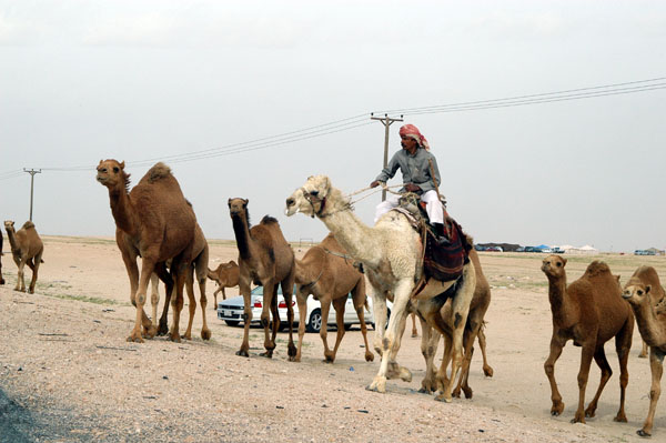 Mounted camel herder moving crossing Highway 80