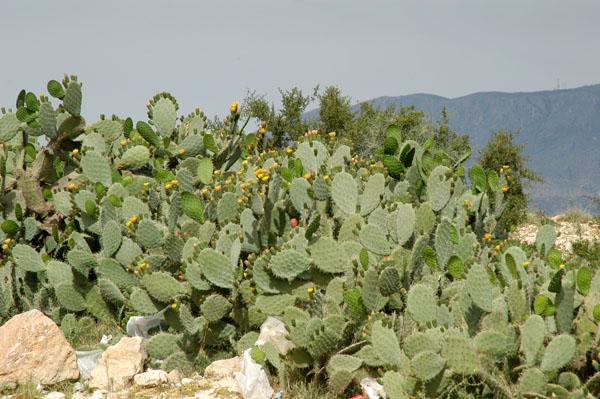 Prickly pear cactus, Tunisia