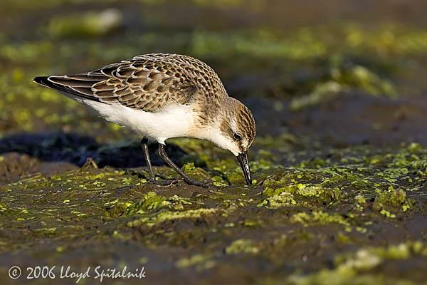 Semipalmated Sandpiper (juvenile)