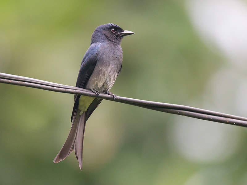 white-bellied drongo <br> Dicrurus caerulescens