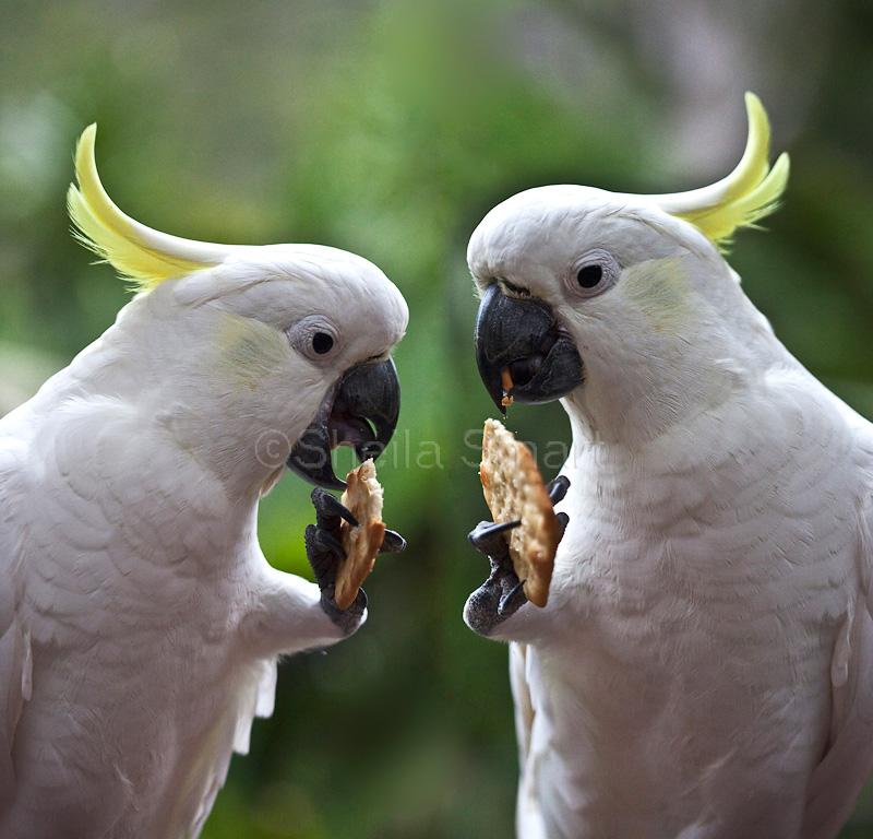 Pair of sulphur crested cockatoos