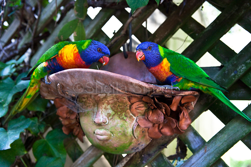 Rainbow lorikeets feeding in face pot plant