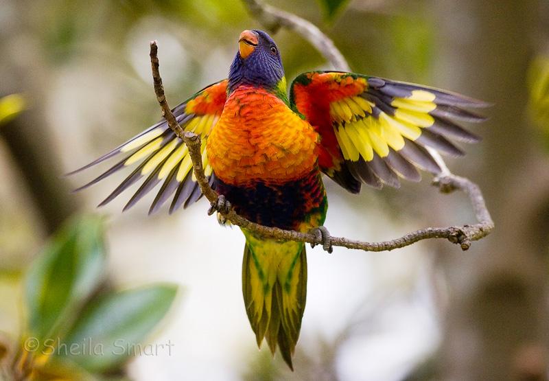 Baby rainbow lorikeet