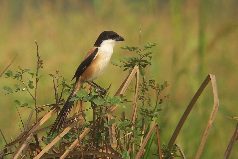 Long-tailed Shrike - Lanius schach, near Peth Buri