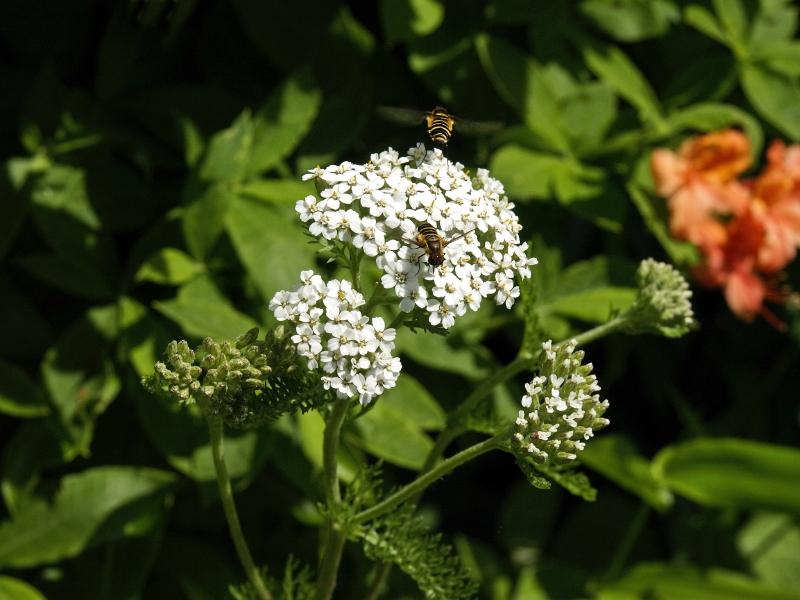 Achillea millefolium (yarrow) and bees