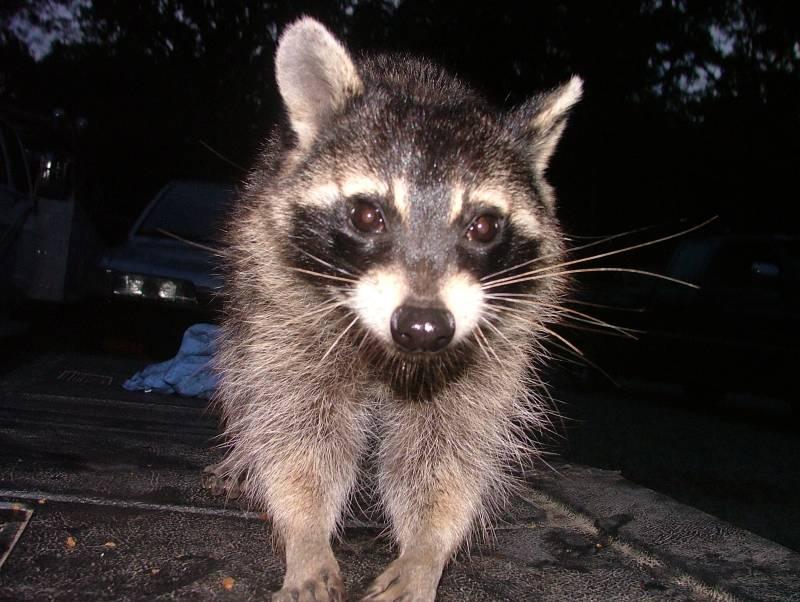 race shop raccoon