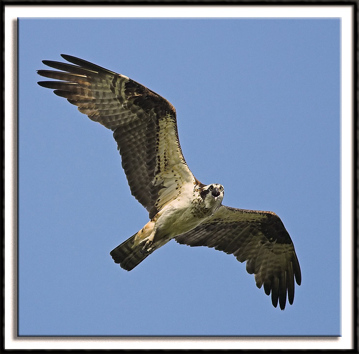 The Angry Osprey