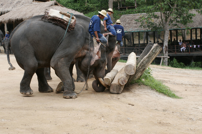 Elephants showing Timbering Skills 3481.jpg