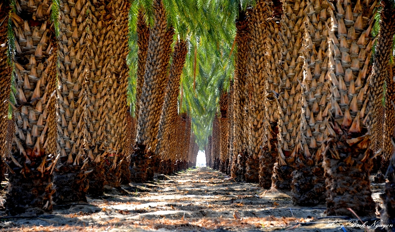 palm plantation, Thermal, California