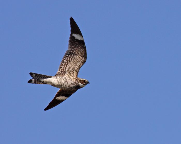 common-nighthawk-VIII.jpg