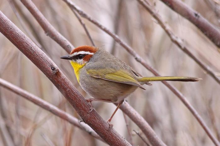 Rufous-capped-Warbler-IV.jpg