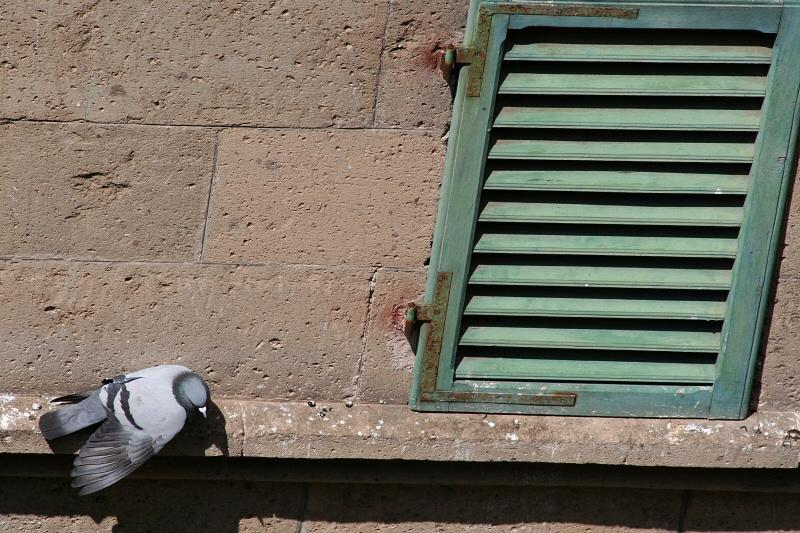 Resting pigeon