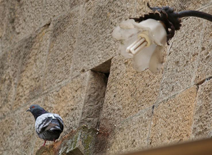 Volterra pigeon