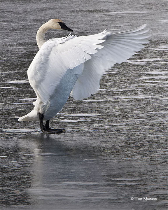 Trumpeter Swan SOLO