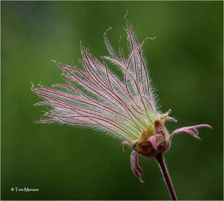Prairie Smoke or Old Mans Beard