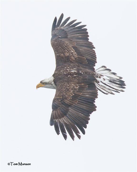 Bald Eagle  (Immature)