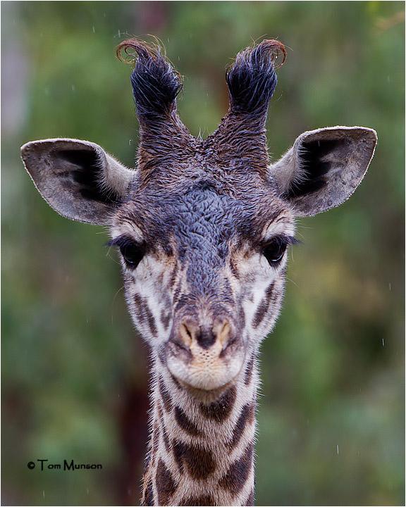 ( A rainy day) Giraffe