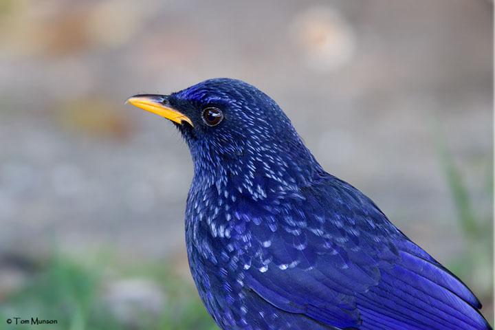 Blue-whistling Thrush