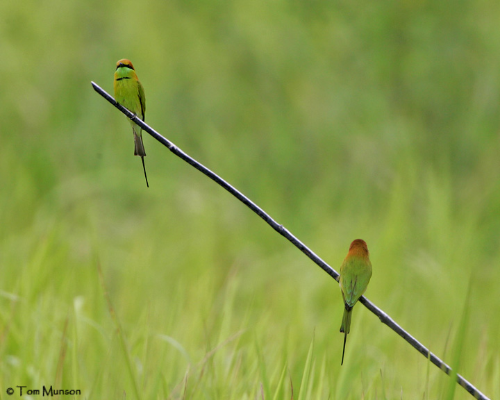Green-bee-Eaters