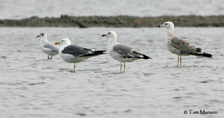 Brown-headed Gull, Heuglinns gull, Heuglinns Gull and Pallass Gull