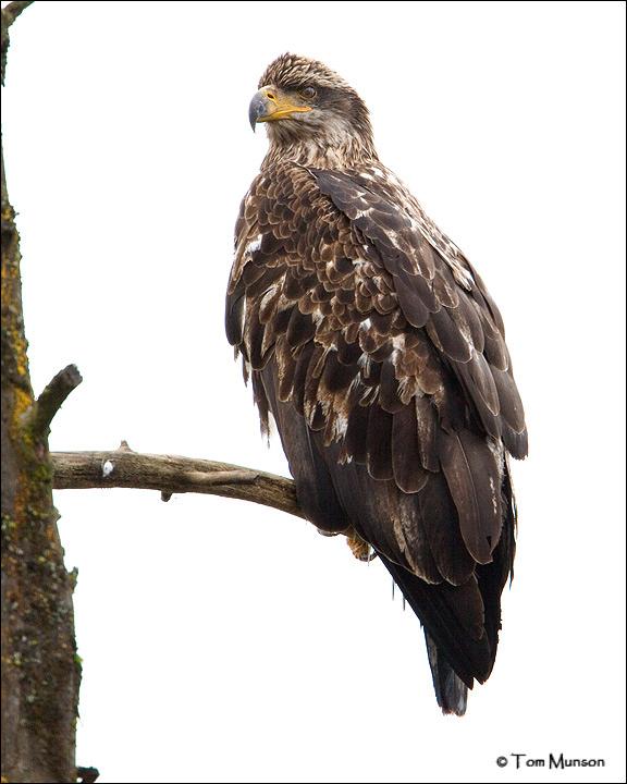 Bald Eagle  (subadult II year)