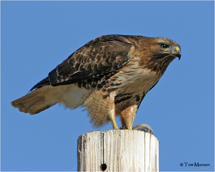 Red-tailed Hawk & Pocket Gopher
