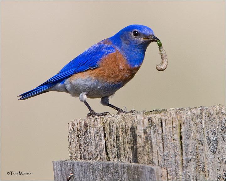 Wesrten Bluebird  (male)