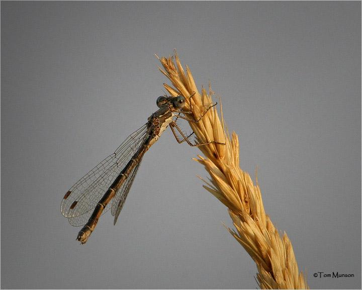 Spotted Spreadwing Damselfly (female)