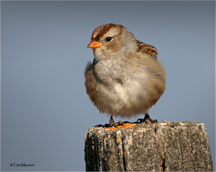 White-crowned Sparrow (juv)